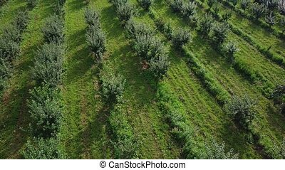 Flying over rows of fruit trees growing in orchard. Aerial drone shot