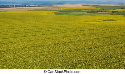 Flying over sunflower field and rural summer landscape