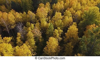 Flying over the crowns of trees in the autumn forest on a ...