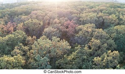 Flying over a dense deciduous autumn forest with yellowed foliage in front of sunlight