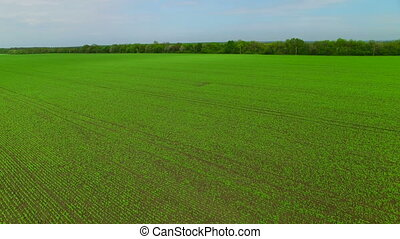 Flying over the field of green peas
