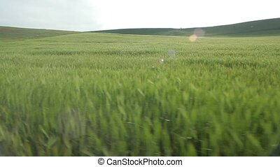 Flying over the wheat field