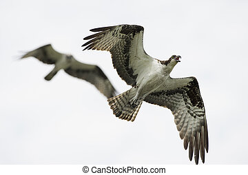 Flying Pair of Osprey