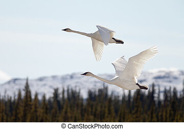 Graceful mating pair of adult white trumpeter swans, Cygnus buccinator, flying over forest with their necks extended as they migrate to their arctic nesting grounds with copyspace