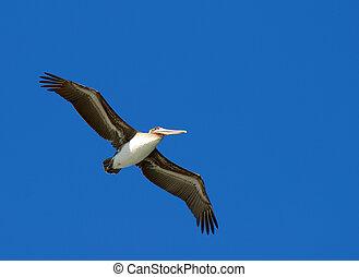 Flying pelican
