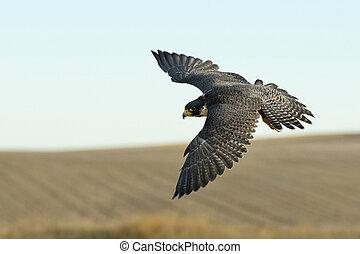 Flying Peregrine Falcon - A female Peregrine Falcon in ...