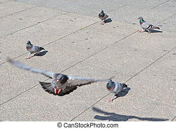 flying pigeon over a square pavement