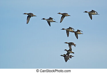 Flying Pintail Ducks - A flock of flying pintail ducks