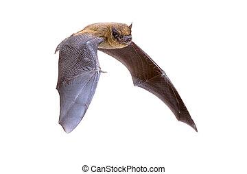 Flying Pipistrelle bat isolated on white background
