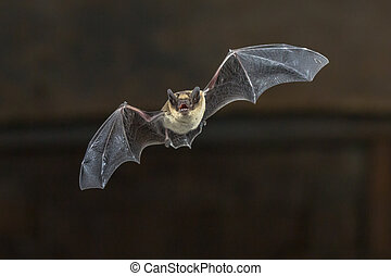 Flying Pipistrelle bat on wooden ceiling - Pipistrelle bat...