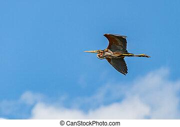 Flying purple heron - Photo of a flying beautiful purple...