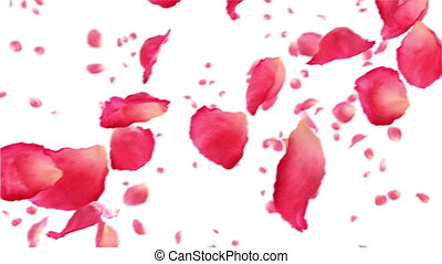 Flying rose petals on white. Looped - Flying rose petals on ...