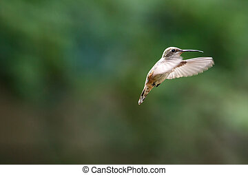 flying rufous hummingbird at Richmond BC Canada,