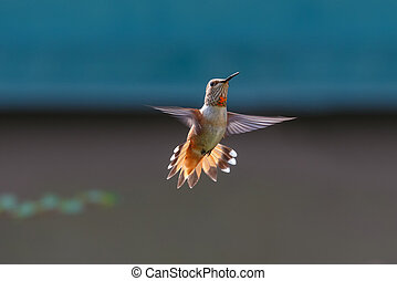 flying Rufous hummingbird - flying rufous hummingbird at ...