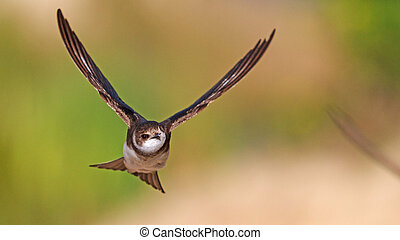 flying sand martin , portrait , swallow