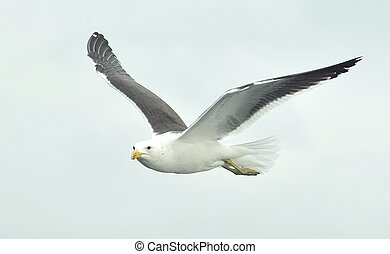 flying seagull - Flying kelp gull (Larus dominicanus), also...