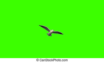 Flying Seagull on Green Screen - Flying seagull in slow...