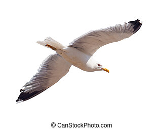 Flying seagull over white - Flying seagull. Isolated over ...
