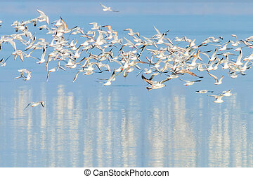 Flying Seagulls, flock of seagulls in flight, reflection in water