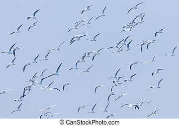 Flying Seagulls, flock of seagulls in flight