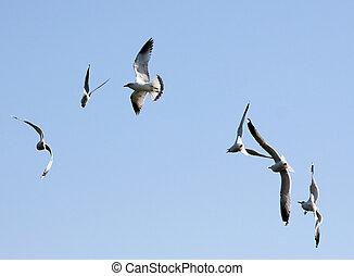 seagull - flying seagulls