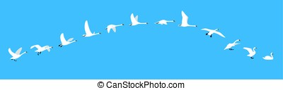 flying sequence of swan, multiple exposure, vector...