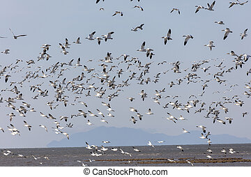 Flying Snow Geese