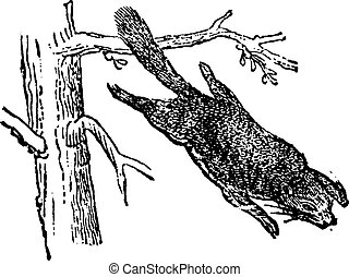 Flying squirrel or Pteromyini, vintage engraving.