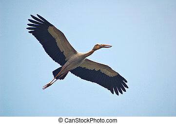 Flying openbill stork
