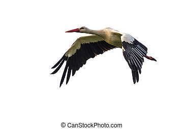 Flying Stork on white background