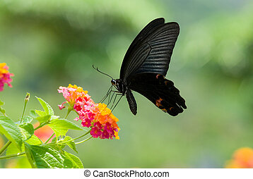 flying swallowtail butterfly feeding on colorful flowers