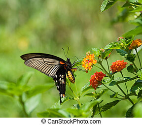 flying swallowtail butterfly feeding