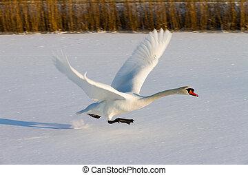 Flying swan in winter