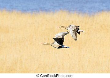 Flying teamwork - Geese pair