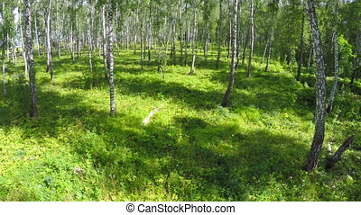 flying through summer birch forest