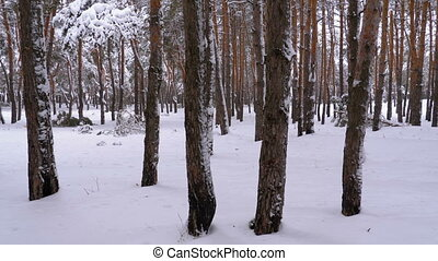 Flying through the Winter Pine Forest. Snowy Path in a Wild...