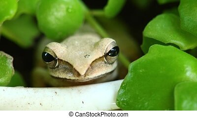 Flying Tree Frog In A Plant Pot Close Up Cute - Tree frog...
