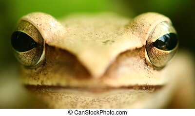 Flying Tree Frog Macro Head And Eyes Portrait Close Up -...