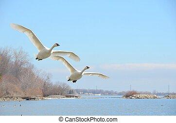 closeup of two rare Trumpeter swan flying over lake Ontario, Burlington Ontario Canada