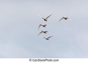 Trumpeter swan migration - Flying Trumpeter swan migration...