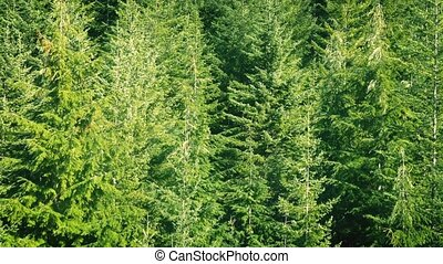 Flying Up Forested Mountainside - Moving over large trees in...