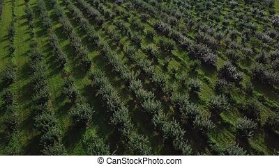 Flying up over agricultural area. Green trees in fruit...