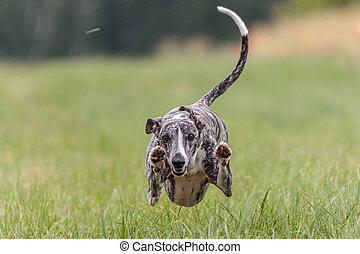 Flying whippet in the field on lure coursing competition