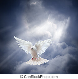 Flying white dove on blue sky background - Dove in the air...