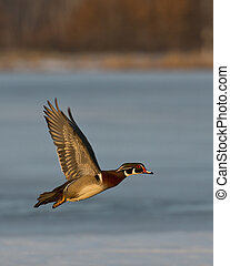 Flying Wood Duck Drake