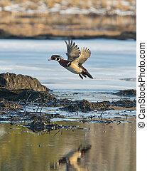 Flying Wood Duck - Drake Wood Duck in flight