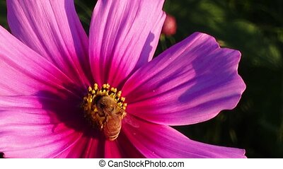 Flying worker bee collecting nectar.