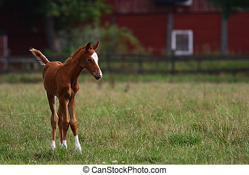 A new born foal trying his legs for the first time