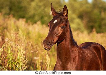 foal - Akhal-Teke horse