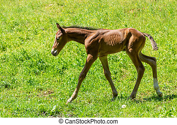 Foal doing first run on a spring pasture